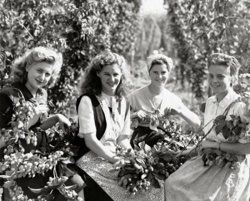Hop picking in Kent c1950s.  Until the early 1960s, when machine picking became widespread, there were so few changes in methods of hop cultivation that the 1850 season would have been almost indistinguishable from that of 1950.